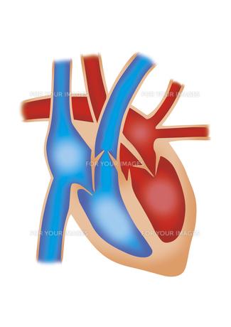 心臓断面図 イラスト(リアル)の素材 [FYI01097853]