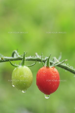 赤色と緑色のミニトマトの素材 [FYI01107125]