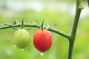赤色と緑色のミニトマトの素材 [FYI01107133]