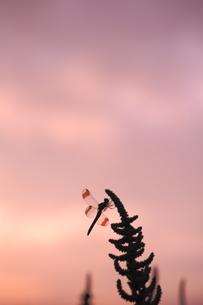夕焼け空のアカトンボの素材 [FYI01107354]