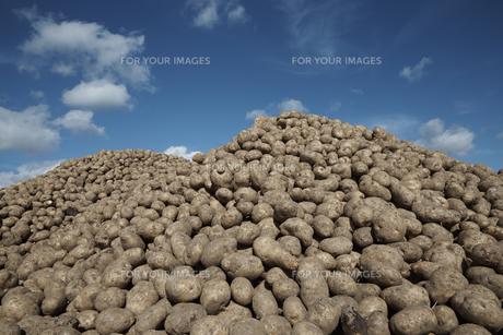 ジャガイモ畑の素材 [FYI01109712]