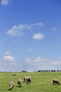 草を食べる羊の素材 [FYI01110323]