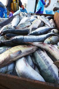 鮭漁の風景の素材 [FYI01111712]