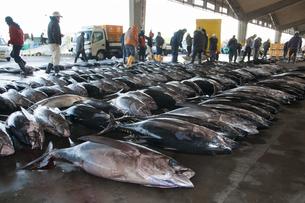 市場に並んだマグロ銚子港の素材 [FYI01114159]