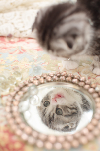 鏡を見るスコティッシュフォールドの素材 [FYI01115173]