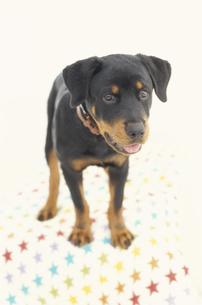 犬(ロットワイラー)の素材 [FYI01116718]