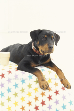 犬(ロットワイラー)の素材 [FYI01116885]