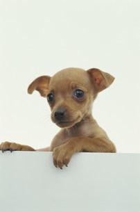犬(ミニチュアピンシャー)の素材 [FYI01116939]