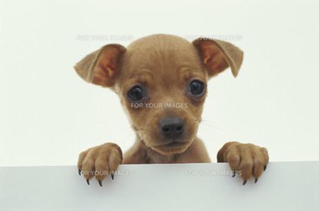 犬(ミニチュアピンシャー)の素材 [FYI01116946]