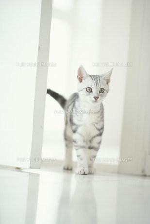 ドア近くに立つ仔猫(アメリカンショートヘアー)の素材 [FYI01117095]