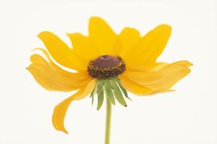 花びらが少し取れた黄色花びらの花の素材 [FYI01117121]