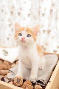 コルクを詰めた箱の上に座る日本猫の素材 [FYI01117734]