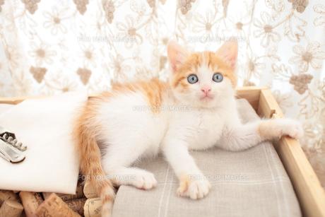 コルクを詰めた箱の上に座る日本猫の素材 [FYI01117758]