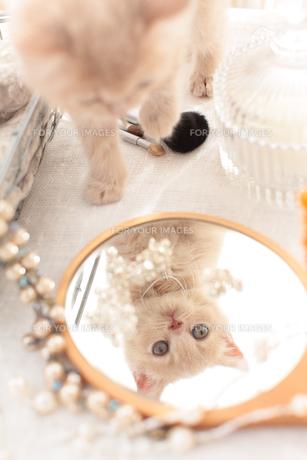 ブリティッシュショートヘアと鏡の素材 [FYI01117839]