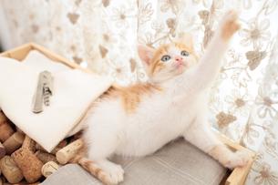 コルクを詰めた箱の上に座る日本猫の素材 [FYI01117866]