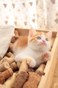 コルクを詰めた箱の上に座る日本猫の素材 [FYI01117873]