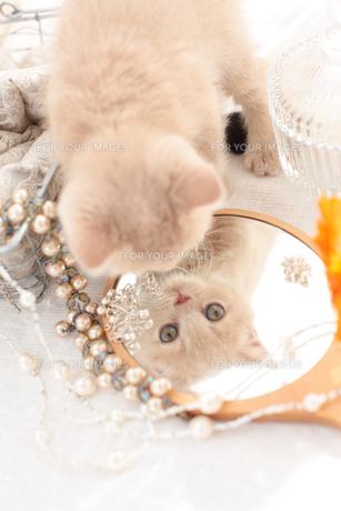 ブリティッシュショートヘアと鏡の素材 [FYI01117946]