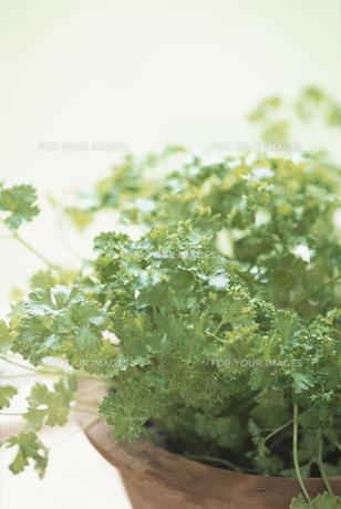 パセリの鉢植えの素材 [FYI01120337]