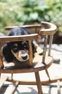 子供用のイスで遊ぶ子犬の素材 [FYI01121329]