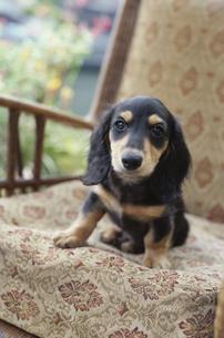 イスに座る子犬の素材 [FYI01121342]