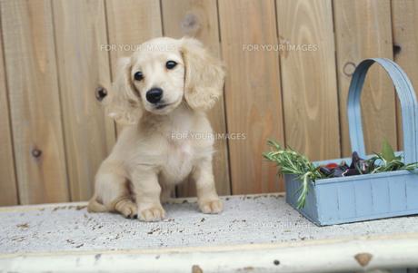 植木の棚に乗った子犬の素材 [FYI01121584]