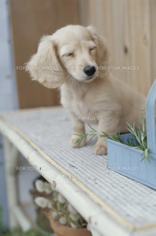 植木の棚に乗った子犬の素材 [FYI01121705]