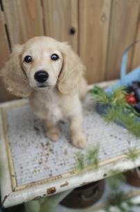 植木の棚に乗った子犬の素材 [FYI01121765]