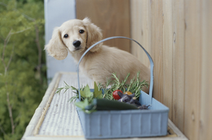 植木の棚に乗った子犬の素材 [FYI01121793]