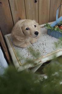 植木の棚に乗った子犬の素材 [FYI01121828]