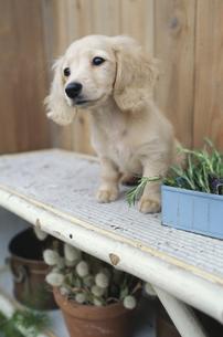 植木の棚に乗った子犬の素材 [FYI01121851]