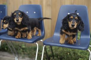 3つの青いイスに座る三匹の子犬の素材 [FYI01122016]