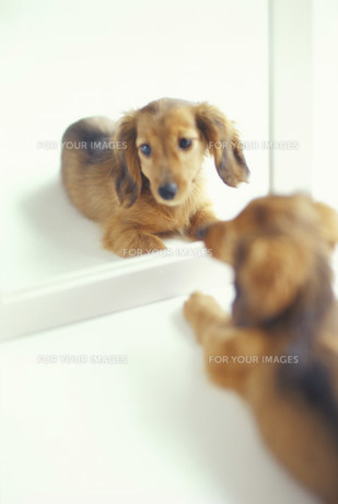 鏡を見る犬(ミニチュアダックスフンド)の素材 [FYI01122281]