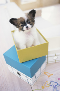 箱の中の犬(パピヨン)の素材 [FYI01122500]