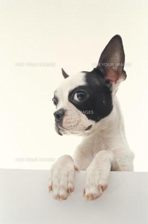 犬(フレンチブルドッグ)の素材 [FYI01122501]