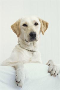 犬(ラブラドールレトリバー)の素材 [FYI01122525]