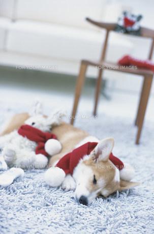 水色のマットの上でマフラーを巻いて眠る犬(コーギー)の素材 [FYI01122530]