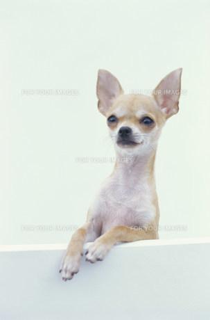 犬(チワワ)の素材 [FYI01122587]