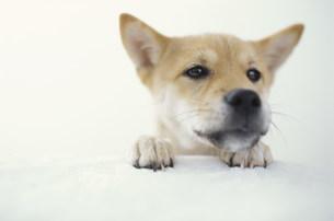 犬(柴犬)の素材 [FYI01122599]