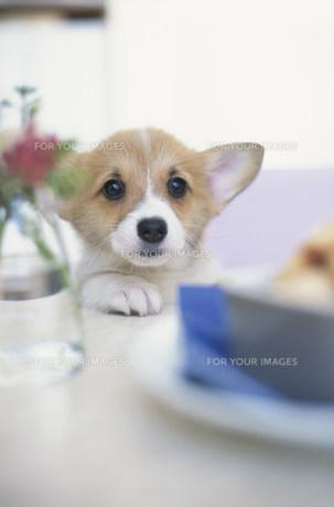 テーブルの上の食べ物を見る犬(コーギー)の素材 [FYI01122631]