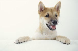 犬(柴犬)の素材 [FYI01122645]