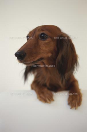 犬(ミニチュアダックス)の素材 [FYI01122652]
