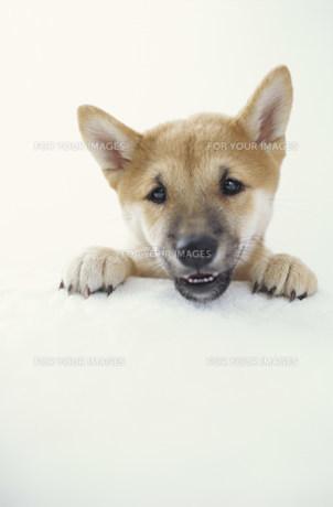 犬(柴犬)の素材 [FYI01122671]