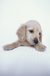 犬(ミニチュアダックス)の素材 [FYI01122695]