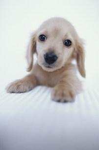 犬(ミニチュアダックス)の素材 [FYI01122722]