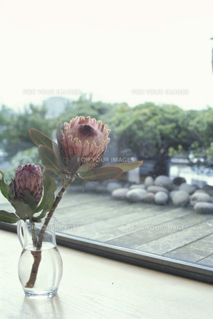 窓辺に置いたガラスの花瓶に活けたプロテアの素材 [FYI01122743]