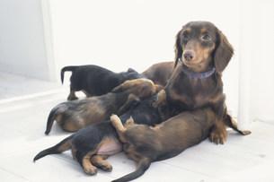 母犬のおっぱいを飲む子犬達の素材 [FYI01122950]