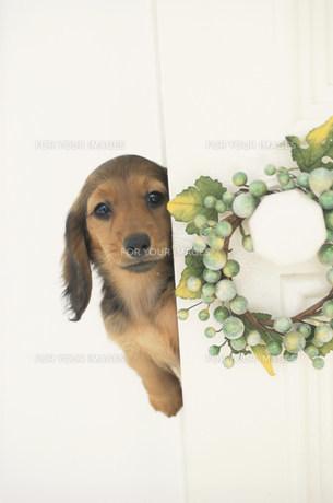 リースの掛かったドアから覗く子犬の素材 [FYI01122995]