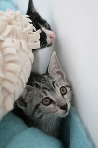 水色のブランケットや白クッションと2匹の子猫の素材 [FYI01123011]