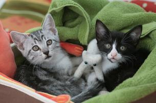 箱に入ってブランケットに包まる2匹の子猫の素材 [FYI01123028]