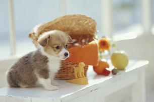 棚に乗った子犬(コーギー)の素材 [FYI01123105]